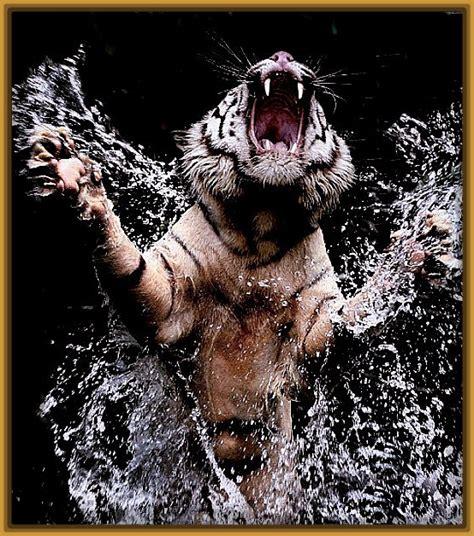 imagenes impresionantes animales salvajes imagenes de tigres salvajes cazando impresionantes fotos