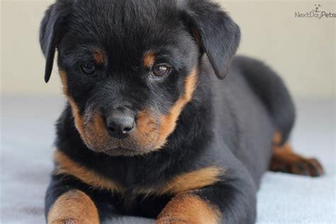 rottweiler breeders in missouri rottweiler puppy for sale near southeast missouri missouri 9466bf81 2f51