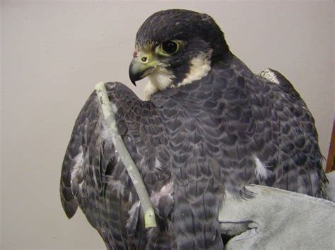 columbus peregrine falcon update photo of victory in rehab