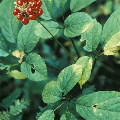 growing ginseng growing ginseng growing american ginseng on forestland