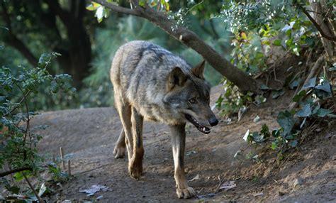 barcelona zoo animals iberian wolf drupal