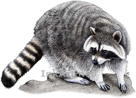 what color are raccoons line drawing raccoon stock drawing of a northern