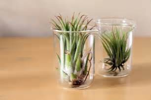Houseplants That Don T Need Sunlight d 233 cor crush air plants