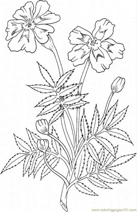 marigold flower coloring page coloring pages