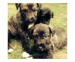 blooded wolf puppies for sale in wolf hound page 2 puppies for sale