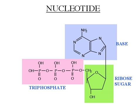 diagram of nucleotide review two nucleotides realm of science