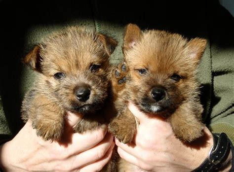 norwich terrier puppies for sale norwich terriers puppies for sale