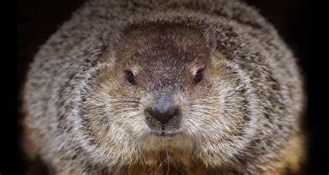 groundhog day s big show groundhog wallpapers wallpaper cave