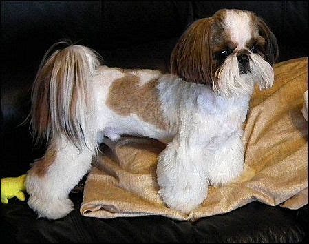 mr foo shih tzu mr foo s shih tzu of indiana kentucky missouri illinios ohio michigan poochini