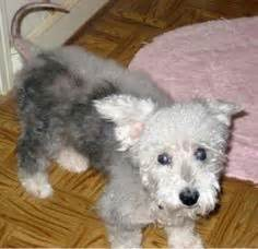 havanese puppies for adoption in louisiana 1000 images about adoptable dogs mostly havanese on havanese dogs
