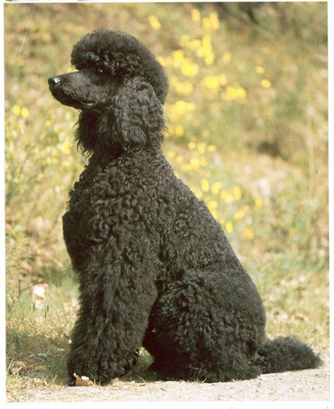 hund stubenrein ab wann ab wann ist ein pudel ausgewachsen erwachsen hund
