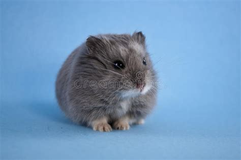 blue hamster blue hamster royalty free stock photos image 21595568