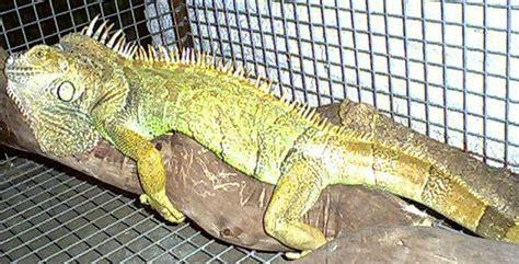 penes variedad penes variedad iguanas
