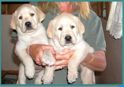 golden retriever rescue albany ny labrador retriever rescue albany ny dogs in our photo