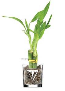lucky bamboo plant in 4 quot glass vase 3 shoots china