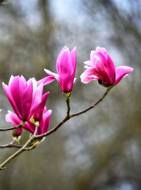 magnolia color magnolia colors fragrances and planting the different