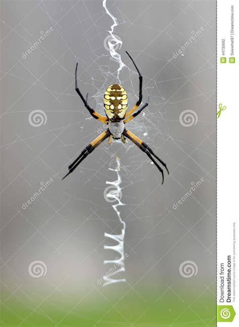 spiders with zig zag pattern on web corn spider on zig zag web stock photo image 44735692