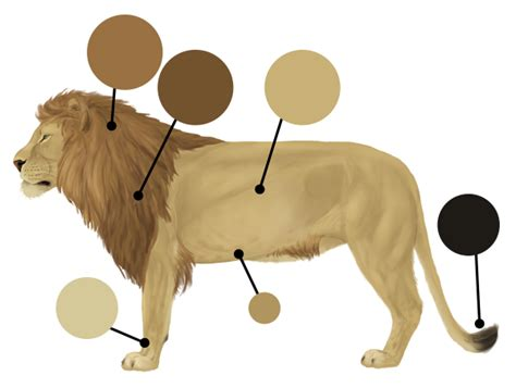 lions colors how to draw animals big cats their anatomy and patterns