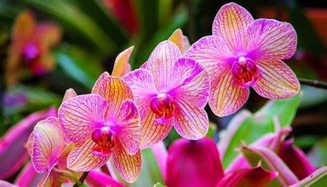 Jual Bibit Anggrek Kediri budidaya bunga anggrek kempas johor malaysia