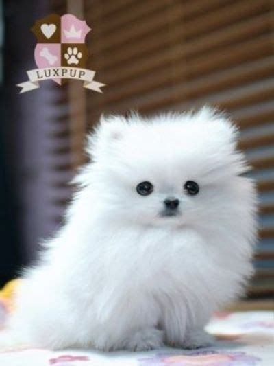 teacup pomeranian husky 25 best ideas about pomeranian husky grown on pomeranian husky