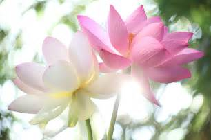 Photos Of Lotus Flowers Lotus Child Lotus Joys