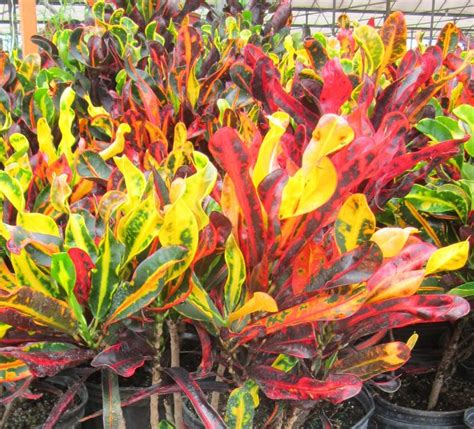 tropical foliage plants identification tropical croton plant check out the free plant
