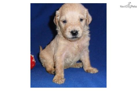 goldendoodle puppy guide goldendoodle puppy for sale near akron canton ohio