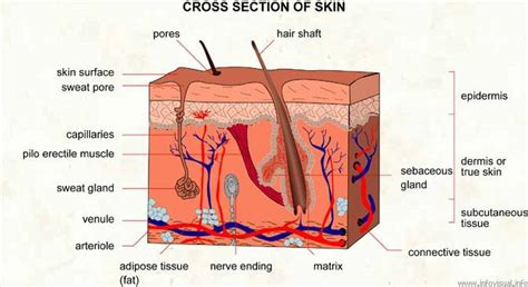 Vertical Section Of Human Skin by Kin140 Vivien Sham S Musings On Health Descending To The