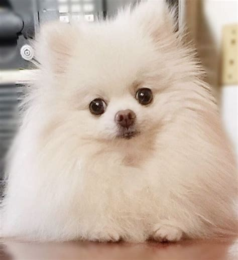 pomeranian world worlds smallest pomeranian breeds picture