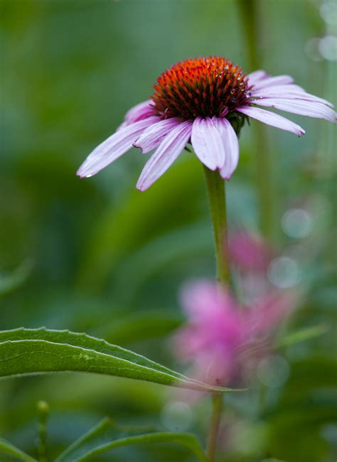 flower pic cone flower vertical american river photography and design