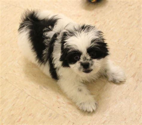 pomeranian shih tzu pups maltese pomeranian puppies for sale breeds picture