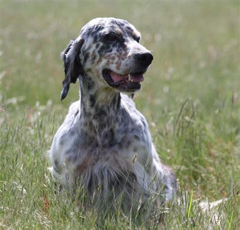 definition de setter fany roc mignon 233 levage de chien de chasse setter