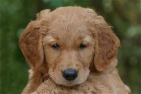 golden retrievers for sale oregon golden retriever for sale portland oregon dogs our friends photo