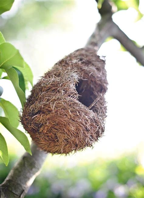 baltimore oriole nest beautiful birds others too