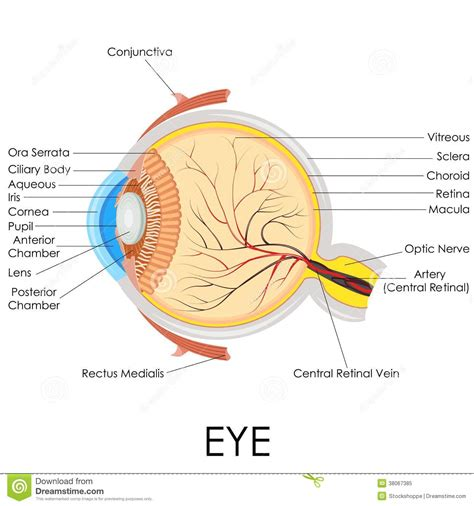 optical diagram human eye anatomy stock vector illustration of ocular