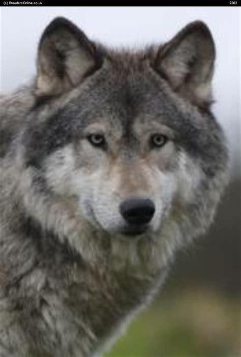 wolf hybrid puppy breeders view advert wolf hybrid and wolf