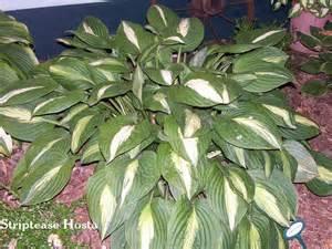 fall hosta varieties favorite perennials