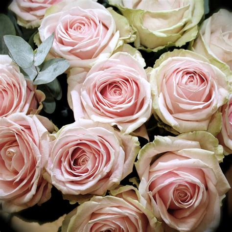 dutch sweet avalanche rose flowers oman flowers