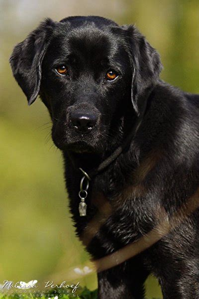 lab puppies for sale in knoxville tn labrador retriever karakter dogs in our photo