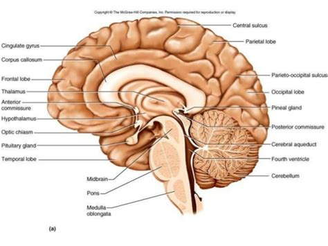 Human Brain Sagittal Section by Anatomy Of Diencephalon