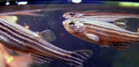 Tb Fish even without lungs zebrafish help us study tb
