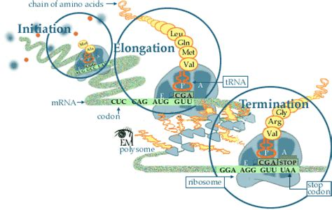carbohydrates translate to protein translation