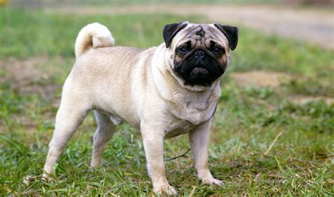 weight of pug pug breed information