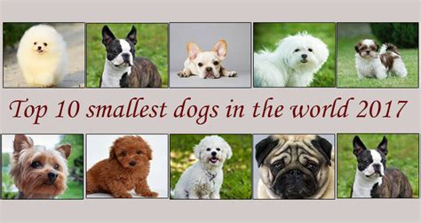 smallest breed in the world top 10 smallest dogs in the world 2017 by dogmal