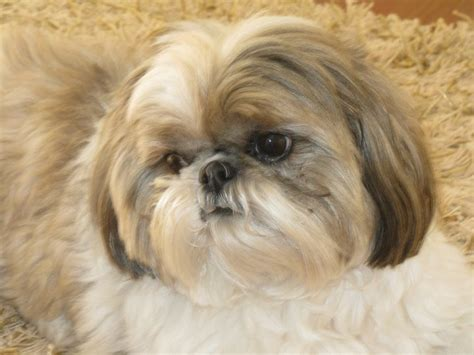 shih tzu age span 17 best images about shih tzus on teddy dogs shih tzu and pets