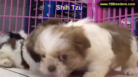 puppies for sale yakima wa shih tzu puppies for sale in bellevue washington wa yakima kitsap thurston