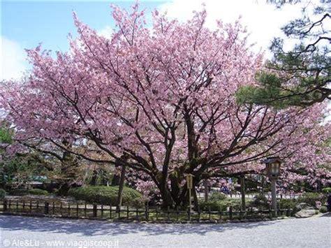 ciliegio fiorito ciliegi in fiore espress451