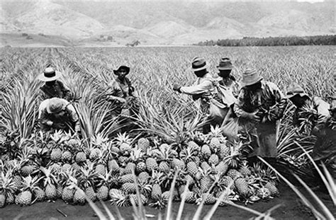 pineapple l house of cards hawaii pineapple plantation harvest 1910 photo print for sale