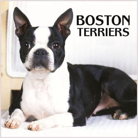 boston terrier pictures boston terriers images boston terrier wallpaper and