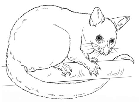 common brushtail possum coloring free printable coloring pages